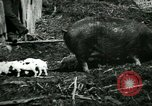 Image of Black sow United States USA, 1898, second 10 stock footage video 65675065303