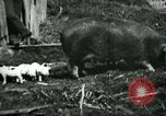 Image of Black sow United States USA, 1898, second 11 stock footage video 65675065303