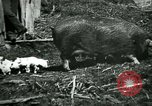Image of Black sow United States USA, 1898, second 12 stock footage video 65675065303