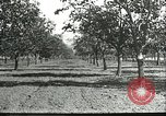 Image of persimmon orchards Chihli China, 1928, second 11 stock footage video 65675066288