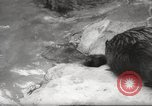 Image of beavers Zurich Switzerland, 1958, second 8 stock footage video 65675066502