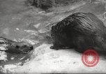 Image of beavers Zurich Switzerland, 1958, second 9 stock footage video 65675066502