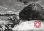 Image of beavers Zurich Switzerland, 1958, second 10 stock footage video 65675066502