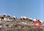 Image of sheep rearing Afghanistan, 1982, second 7 stock footage video 65675066739