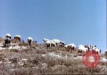 Image of sheep rearing Afghanistan, 1982, second 8 stock footage video 65675066739