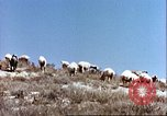 Image of sheep rearing Afghanistan, 1982, second 9 stock footage video 65675066739