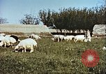 Image of sheep rearing Afghanistan, 1982, second 10 stock footage video 65675066739