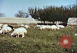 Image of sheep rearing Afghanistan, 1982, second 11 stock footage video 65675066739