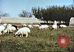Image of sheep rearing Afghanistan, 1982, second 12 stock footage video 65675066739
