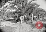 Image of date palm harvest and packaging Los Angeles California USA, 1920, second 2 stock footage video 65675066803