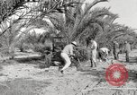 Image of date palm harvest and packaging Los Angeles California USA, 1920, second 3 stock footage video 65675066803