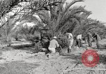 Image of date palm harvest and packaging Los Angeles California USA, 1920, second 4 stock footage video 65675066803