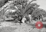Image of date palm harvest and packaging Los Angeles California USA, 1920, second 6 stock footage video 65675066803