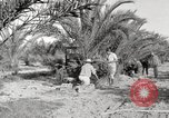 Image of date palm harvest and packaging Los Angeles California USA, 1920, second 8 stock footage video 65675066803