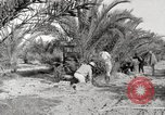 Image of date palm harvest and packaging Los Angeles California USA, 1920, second 10 stock footage video 65675066803