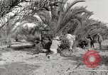 Image of date palm harvest and packaging Los Angeles California USA, 1920, second 11 stock footage video 65675066803