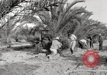 Image of date palm harvest and packaging Los Angeles California USA, 1920, second 12 stock footage video 65675066803