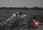 Image of cotton picker Stoneville Mississippi USA, 1936, second 10 stock footage video 65675066983