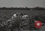 Image of cotton picker Stoneville Mississippi USA, 1936, second 11 stock footage video 65675066983