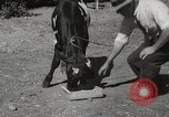 Image of two headed calf Sacramento California USA, 1936, second 10 stock footage video 65675066984