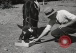 Image of two headed calf Sacramento California USA, 1936, second 11 stock footage video 65675066984