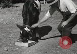 Image of two headed calf Sacramento California USA, 1936, second 12 stock footage video 65675066984
