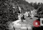 Image of Women and girls picking fruit in an orchard Morocco North Africa, 1942, second 2 stock footage video 65675067422