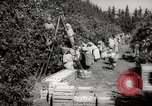 Image of Women and girls picking fruit in an orchard Morocco North Africa, 1942, second 5 stock footage video 65675067422