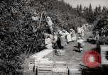 Image of Women and girls picking fruit in an orchard Morocco North Africa, 1942, second 6 stock footage video 65675067422