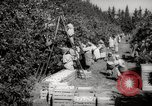 Image of Women and girls picking fruit in an orchard Morocco North Africa, 1942, second 8 stock footage video 65675067422