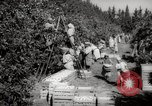 Image of Women and girls picking fruit in an orchard Morocco North Africa, 1942, second 9 stock footage video 65675067422