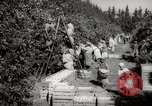 Image of Women and girls picking fruit in an orchard Morocco North Africa, 1942, second 10 stock footage video 65675067422