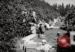 Image of Women and girls picking fruit in an orchard Morocco North Africa, 1942, second 12 stock footage video 65675067422