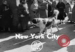 Image of Westminster Kennel Club Dog Show New York United States, 1953, second 1 stock footage video 65675067643