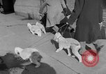 Image of Westminster Kennel Club Dog Show New York United States USA, 1953, second 8 stock footage video 65675067643