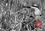 Image of harvest sugarcane Barbados, 1936, second 9 stock footage video 65675068690