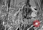 Image of harvest sugarcane Barbados, 1936, second 10 stock footage video 65675068690
