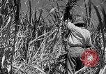 Image of harvest sugarcane Barbados, 1936, second 11 stock footage video 65675068690