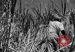 Image of harvest sugarcane Barbados, 1936, second 12 stock footage video 65675068690