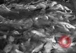 Image of sturgeon fish Russia, 1961, second 10 stock footage video 65675069265