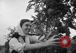 Image of apple picking Washington State United States USA, 1957, second 10 stock footage video 65675069671