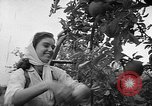 Image of apple picking Washington State United States USA, 1957, second 12 stock footage video 65675069671