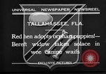 Image of red hen and puppies Tallahassee Florida USA, 1932, second 5 stock footage video 65675069705