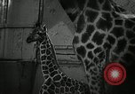 Image of baby giraffe London England United Kingdom, 1956, second 6 stock footage video 65675069883