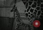 Image of baby giraffe London England United Kingdom, 1956, second 7 stock footage video 65675069883