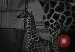 Image of baby giraffe London England United Kingdom, 1956, second 8 stock footage video 65675069883