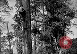 Image of Lumberjacks scaling tall trees Taiwan, 1950, second 1 stock footage video 65675069926