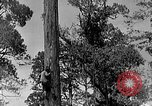 Image of Lumberjacks scaling tall trees Taiwan, 1950, second 5 stock footage video 65675069926
