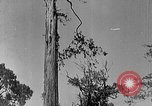 Image of Lumberjacks scaling tall trees Taiwan, 1950, second 6 stock footage video 65675069926