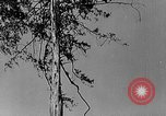 Image of Lumberjacks scaling tall trees Taiwan, 1950, second 7 stock footage video 65675069926